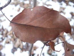 Close up of a dead leaf on a tree.