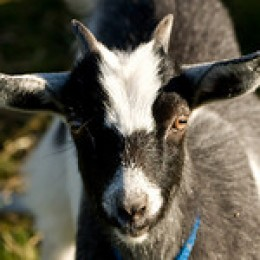What Burns My Goat