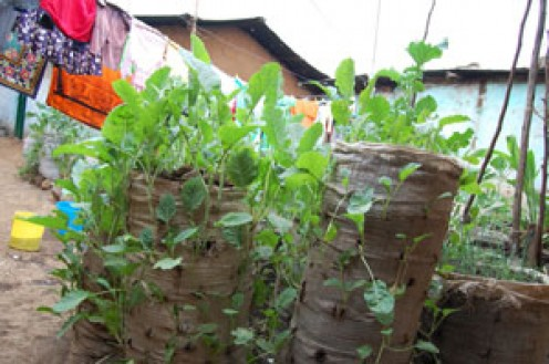 One of the artificial sack gardens in Kibera.