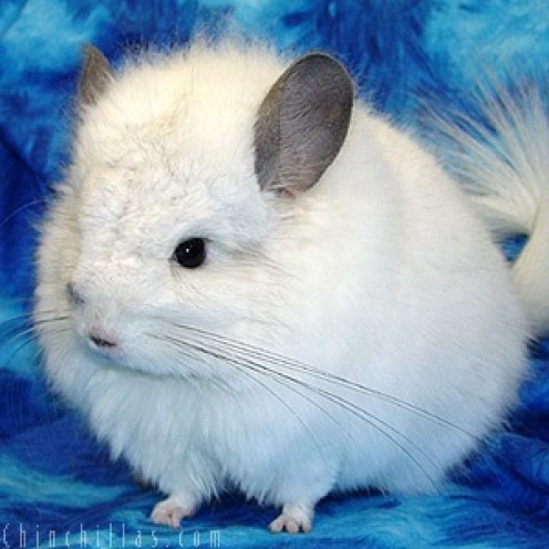 Chinchillas as Pets - Things you need to know about caring for pet chinchillas