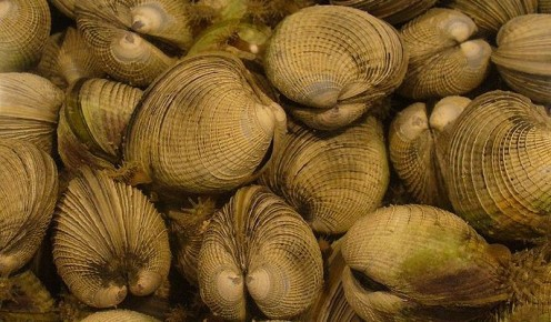 Cockles are found in several places gobally and in several varieties, these being caught in New Zealand. (Photo, public donaim.)