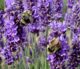 Lavender is involved in a huge number of relaxing herbal remedies.