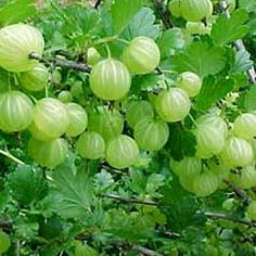 Natural Herb Indian gooseberry  or Amla fruit