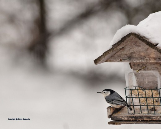 The wind swirled and the nuthatch moved around to keep the feeder as its windbreak.