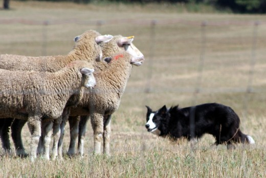 "The ""eye"" is an intimidation tactic employed most often by Border Collies, though other dogs with herding instincts do this as well."