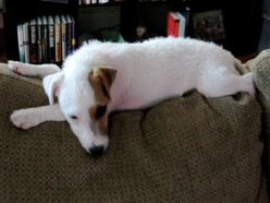 So You Are Adopting a Jack Russell Terrier - The Good, The Bad, The Adorable