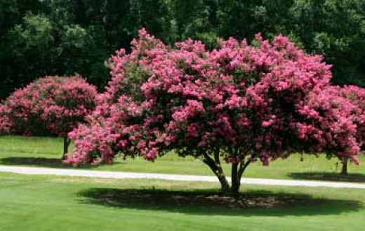 The best small flowering trees Small flowering trees