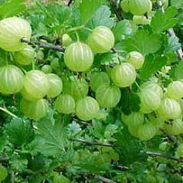 Amla herb