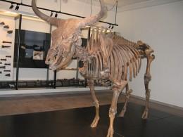 An Auroch in a Museum