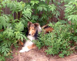 The Shetland Sheepdog:  Smart, Beautiful, and Loyal