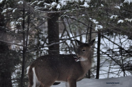 Is this deer yawning or just licking its chops?