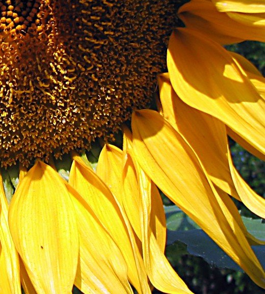 Sunflowers are easy to sprout and grow and the seeds are a favorite with birds!