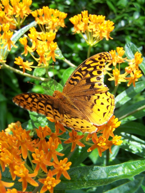 Butterfly Weed and Butterfly