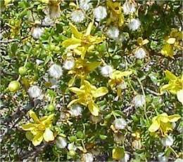 Cresote in bloom