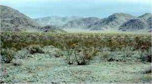 Cresote in the Sonoran desert