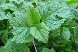 Lemon balm plant (image from Smoobs on Flickr)