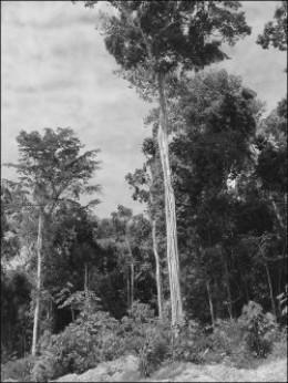 Can this tree (Pao Pereira) ...