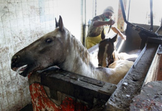A terrified horse awaiting its turn to be murdered.