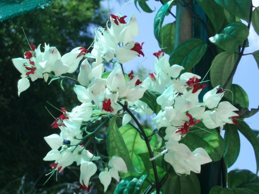 Delightful Clerodendrons