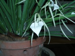 A heavenly night scented orchid.