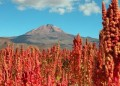 Fields of quinoa in the Andes