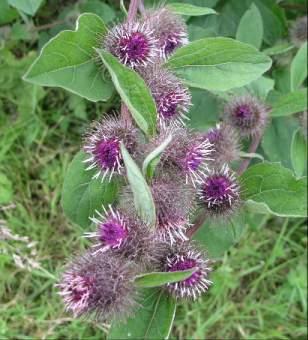 Burdock root herbal remedy