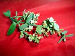 Homeopathic Mistletoe Extract Works Against Cancer