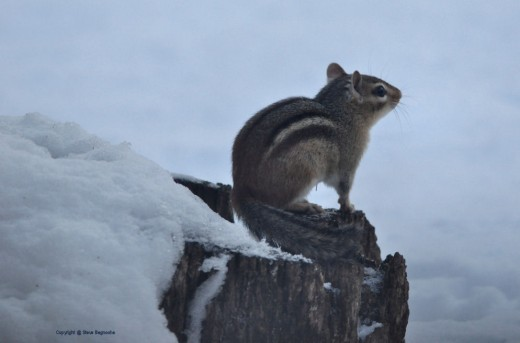 This chipmunk serenely sat and looked to the east this morning for several minutes.
