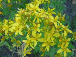 Interactions between St John's Wort and many medicines are potentially dangerous