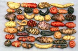 Potatoes in different sizes, shapes and colors!