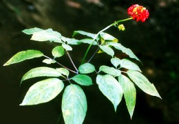 Ginseng is used in a lot of Chinese Medicine, for plenty of chinese remedies!