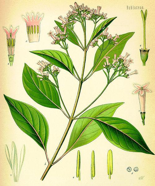 Cinchona Officinalis, Quinine Bark.
