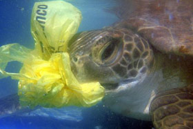 A sea turtle mistaken a plastic bag for food.   Over 1 million birds an 100.000 sea turtles die annually from ingesting or becoming entangled in marine debris, such plastic bags.