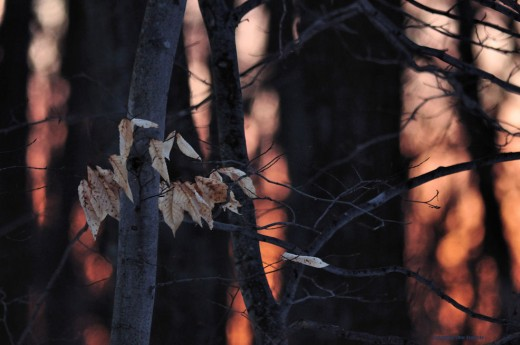 Beech leaves that have survived all winter greet the early morning sunrise.