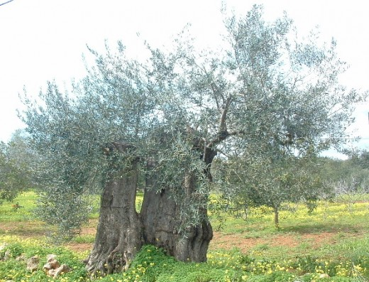 A 500 year old Olive tree with 4 meters in diameter