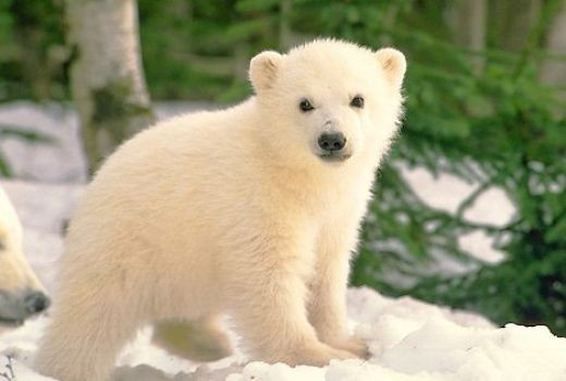 Cool Facts About Polar Bear Cubs - Best Bear 2017