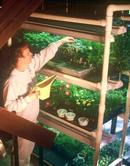 A fluorescent lighted plant stand makes raising seedlings easy and convenient