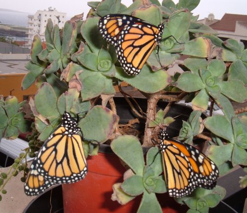 Monarchs on my balcony