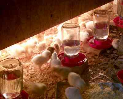 Brooder over Chicks