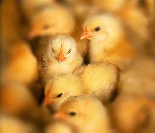 Oh Chicks!!!