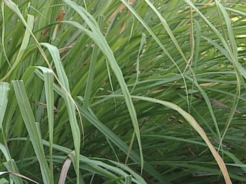 Citronella, otherwise known as lemongrass is commonly used in South-east Asia as a culinary herb to stimulate blood circulation, kills intestinal worm. It also possesses antibacterial, anti-depressant, antispasmodic qualities.