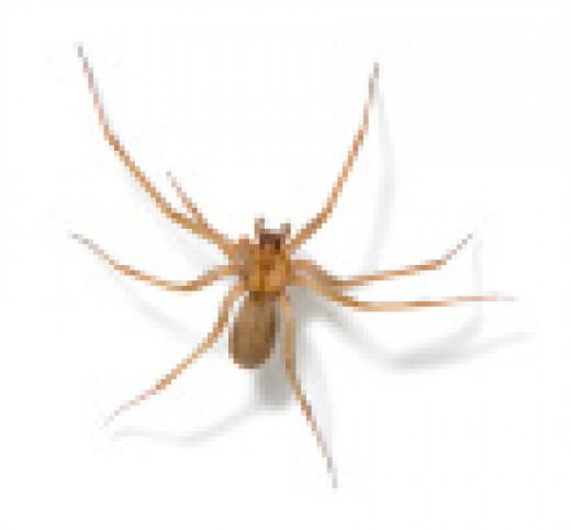Here is the Brown Recluse - more dangerous than the black widow, in my opinion, because it looks so drab. Its venom is the necrotic type: it will cause your flesh to rot, EW! So take note of the violin-shape on her back, and beware.