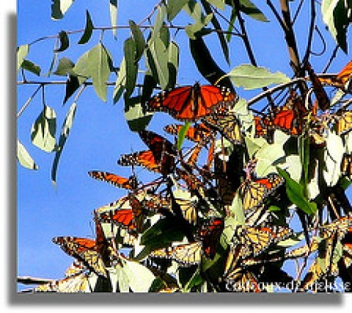 A flock of Adult Monarchs in a Butterfly Sanctuary/