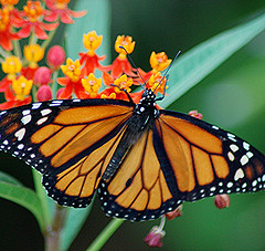 A Monarch Butterfly laying eggs on a Swan Plant (type of Milkweed) on the underside of a leaf........All photos courtesy Flickr.