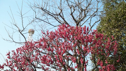 The Bee Tower peeks up above a burst of pink cherry blossoms