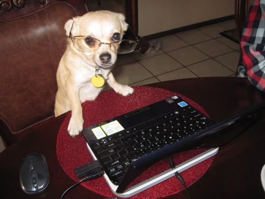 Our chihuahua, Chika, hard preparing an article for publication.