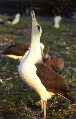 The endangered Albatross is a victim of plastic pollution