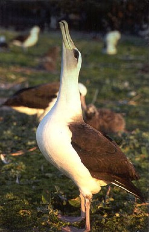 Phoebastria immutabilis (Laysan Albatross) breeding.