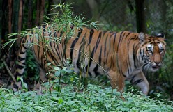 How to Save the Tiger Population in India & Tiger Conservation