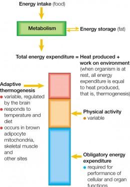Adaptive Thermogenesis